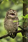 Ural owl (Strix uralensis) juvenile yawning