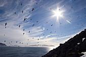 Little Auks, Alle alle, Spitsbergen, Norway, digitally enhanced
