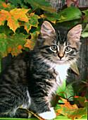 Cat, autumn leaves.