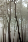 Central America, Color, Colour, Daytime, Exterior, Fog, Jalisco, Latin America, Mexico, Mist, Mysterious, Mystery, Nature, North America, Outdoor, Outdoors, Outside, Scenic, Scenics, Silhouette, Silhouettes, Tree, Trees, Trunk, Trunks, Vegetation, Weather