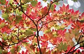 Japanese Maple (Acer japonicum) leaves