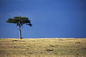 Lone Acacia stands on the Masai horizon, Masai Mara, Kenya