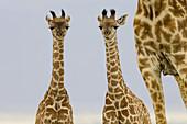 2 Newborn Masai Giraffe on the Masai Mara