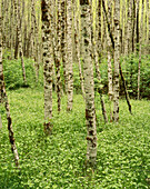 Spring Alder Grove. Ross Lake Recreation Area. Washington. USA.