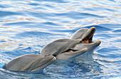Animal, Animals, Cetacean, Cetaceans, Color, Colour, Daytime, Dolphin, Dolphins, Exterior, Fauna, Marine life, Marine mammal, Marine mammals, Nature, Outdoor, Outdoors, Outside, Sea, Sea mammal, Sea mammals, Three, Three animals, Together, Togetherness, U