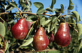 Pear orchard, Hood River. Oregon, USA