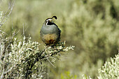 Mountain Quail (Oreortyx picta), male