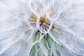 Intricate filaments inside a giant dandelion found in Missoula, Montana, USA