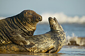 Two grey seals mating on a beach, North Sea, UK
