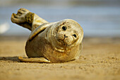 Common seal pup rolling in the sand, North Sea, UK
