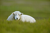 Animal, Animals, Color, Colour, Country, Countryside, Daytime, Exterior, Facing camera, Farm animals, Farming, Livestock, Looking at camera, Mammal, Mammals, One, One animal, Outdoor, Outdoors, Outside, Portrait, Portraits, Rural, Selective focus, Sheep,
