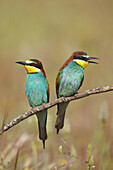 Animal, Animals, Bird, Birds, Close up, Close-up, Closeup, Color, Colour, Daytime, Exterior, Fauna, Nature, Ornithology, Outdoor, Outdoors, Outside, Pair, Two, Two animals, Wild, Wildlife, Zoology, M74-534561, agefotostock