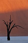 Death tree in desert. Sossusvlei dunes. Namib-Naukluft Park. Namibia