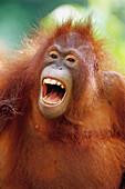 Bornean orangutan (Pongo pygmaeus). Borneo. Malaysia