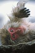 Animal, primates, monkey, resting, Japanese macaque (Macaca fuscata). Jigokudani. Honshu, Japan, Asia.