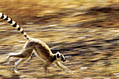 Lemur, Ring-taild lemur, (Lemur catta), blurred motion, running. Berenty reserve. Madagascar.