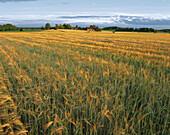 Houses in the field, agricultural landscape. Hidinge. Närke. Sweden.