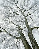Oak (Quercus robur), winter, frost, cold. Barsebäck. Skåne. Sweden.