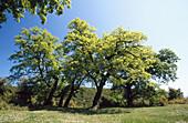 Außen, Baum, Bäume, Blau, Blauer Himmel, Farbe, Grün, Himmel, Land, Landschaft, Landschaften, Natur, Pflanze, Pflanzen, Sonnig, Tageszeit, Vegetation, Wiese, Wiesen, M85-431413, agefotostock