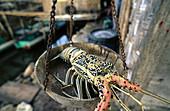 Painted crayfish (Panulirus ornatus) being weighed in the market. Sampela village, Wakatobi Marine Park, Tukangbesi Archipelago, Sulawesi, Indonesia