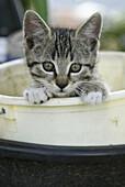Domestic cat, kitten