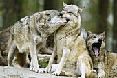 Wolves (Canis lupus). Captive