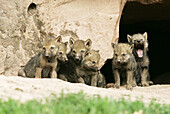 Wolves (Canis lupus) cubs in front of her home. Captive