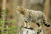 Common Wild Cat (Felis silvestris), captive