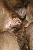 Gelada baboon (Theropithecus gelada). Captive, adult with cub