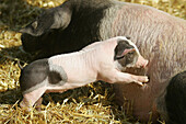 Domestic pig, sow with piglet
