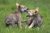 Wolf, Canis lupus, Cub Captive, Germany
