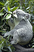 Koala (Phascolarctos cinereus) eating in eucalyptus tree, captive. Germany