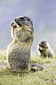 Marmot eating (Marmota marmota) Nationalpark Hohe Tauern, Austria