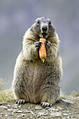 Marmot eating vegetables (Marmota marmota) Nationalpark Hohe Tauern, Austria
