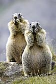 Marmots eating (Marmota marmota) Nationalpark Hohe Tauern, Austria