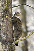 Felis silvestris, Common Wild Cat, Germany, in a tree