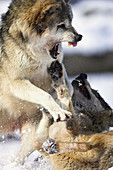 Canis lupus, Wolves, Germany, winter snow, figthing