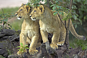Asiatic Lion (Panthero leo persica), cubs, captive. Germany