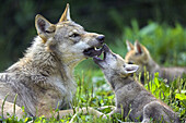 Wolf (Canis lupus), captive, cub. Germany