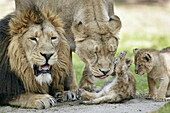 Panthera leo persica, Asiatic Lion, Cubs with mother and father.