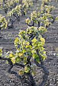 Vineyards, Sant Martí Sarroca. Alt Penedès, Barcelona province, Catalonia, Spain