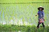 Rice farmer at rice paddy. Northern Thailand