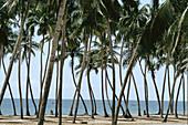 Coconut tree grove. Benin.