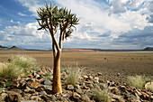 Quiver tree. Sossusvlei Lodge. Sossusvlei. Namibia.