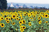 Sunflowers field near a village in Franconia - Bavaria/Germany