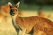 Außen, Blick Kamera, Ein Tier, Eins, Farbe, Nahaufnahme, Nahaufnahmen, Natur, Säugetier, Säugetiere, Tageszeit, Tier, Tiere, Wildtiere, Zoologie, N90-481354, agefotostock