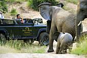 Safari, African Elephants, Africa