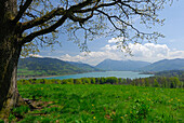 pasture with tree and view to lake Tegernsee with Wallberg, Bavarian foothills, Bavarian range, Upper Bavaria, Bavaria, Germany