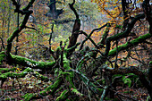 Mossy branches in forest Reinhardswald, Hesse, Germany