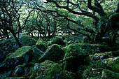Europe, England, Devon, oak forest Wistman`s Wood in the Dartmoor near Two Bridges